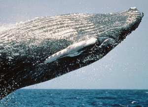 Watching Cetaceans and Other Marine Mammals - Ocean Life