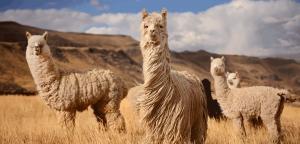 National Alpaca Day celebration