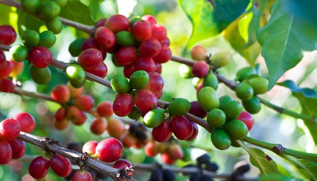 Celebrating Puerto Rico's Coffee Harvest