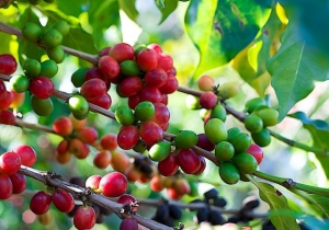 Coffee Beans Hacienda San Pedro