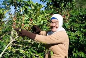 Harvesting Coffee Hacienda San Pedro