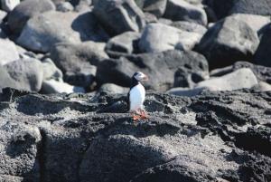 Reykjavik: 1.5-Hour Puffin Watching Tour