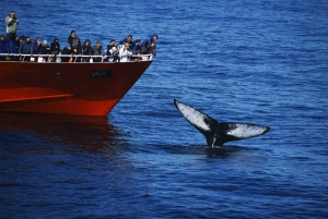 Reykjavik: 3-Hour Whale Watching Tour