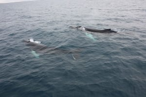 Reykjavik: Whale Watching Excursion & Whale Exhibition
