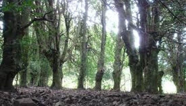 The Giant Holly Trees of Piano Pomo