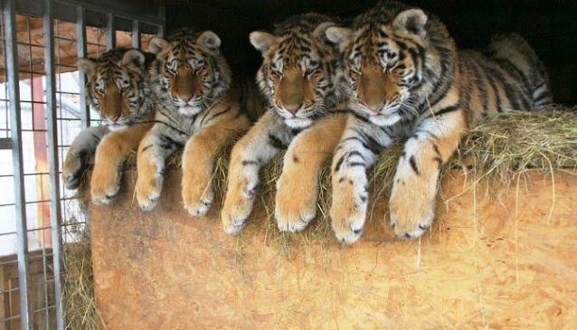 Oasis of the Siberian Tiger