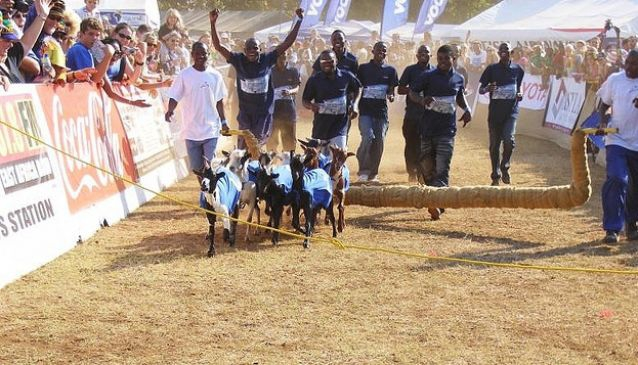 Goat Racing in Tanzania