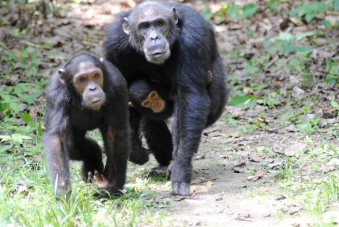 Kungwe Beach Lodge Chimpanzees