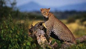 Safari Legacy