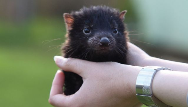 The Tasmanian Devil