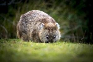 Cradle Mountain Wildlife Spotting after Dark