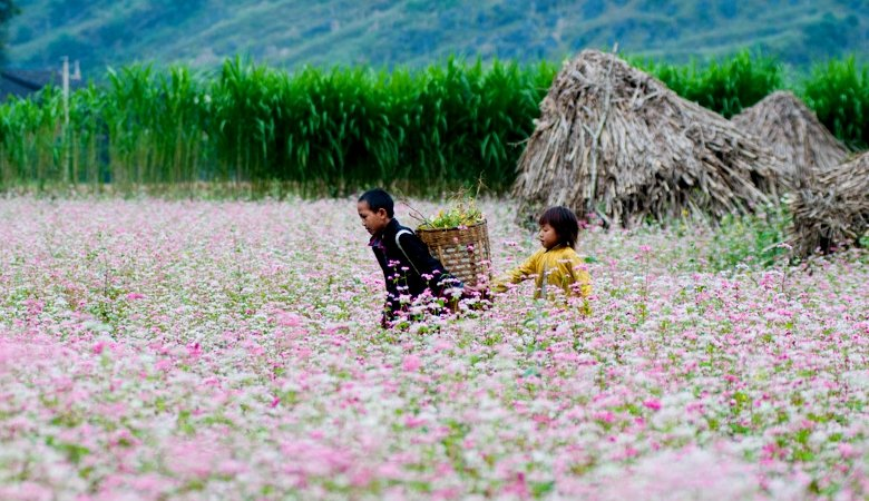 The Buckwheat Flower Festival in Ha Giang Province