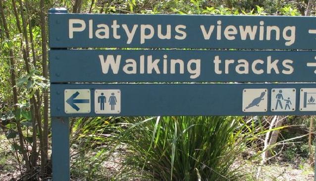 Watching Platypus at Eungella