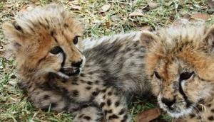 Cheetah Walks - Mukuni Big Five Safaris