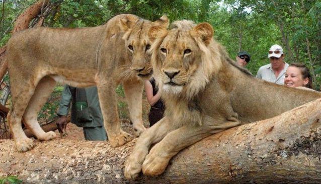Lion Walks - Mukuni Big Five Safaris