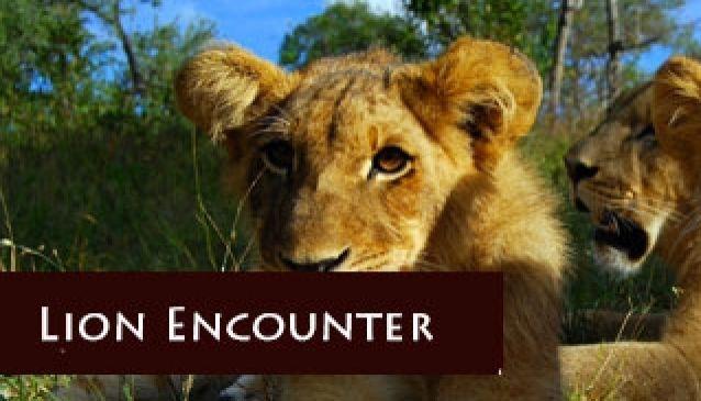 Lion Walks - Safari Par Excellence