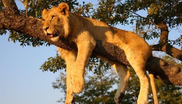 Lion Encounter Safari