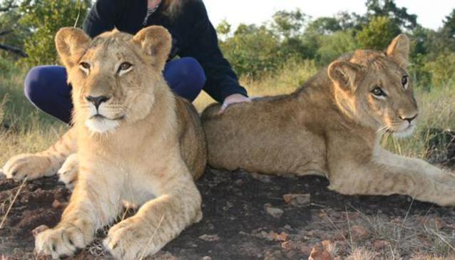 Lion Encounter Safaris (Adventure Zone)